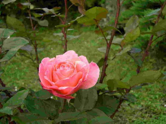 Il giardino delle rose florence live - Il giardino delle rose ...